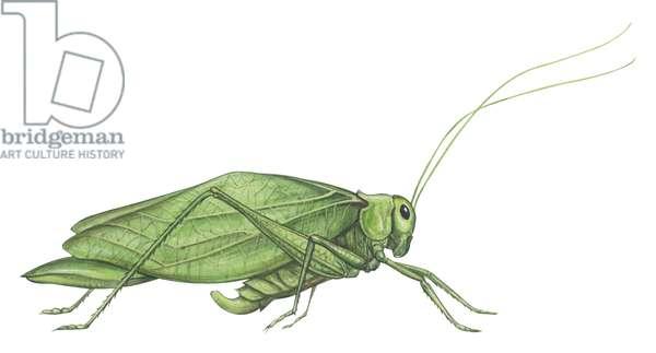 Sauterelle, Tettigoniidae - Broadwinged katydid (Microcentrum rhombifolium) ©Encyclopaedia Britannica/UIG/Leemage