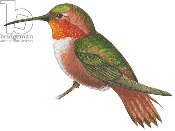 Colibri d'Allen - Allen's hummingbird (Selasphorus sasin) ©Encyclopaedia Britannica/UIG/Leemage