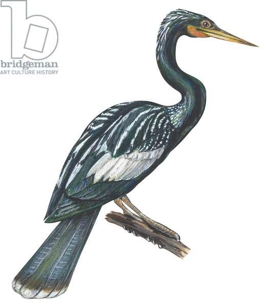 Anhinga d'Amerique - Anhinga (Anhinga anhinga) ©Encyclopaedia Britannica/UIG/Leemage