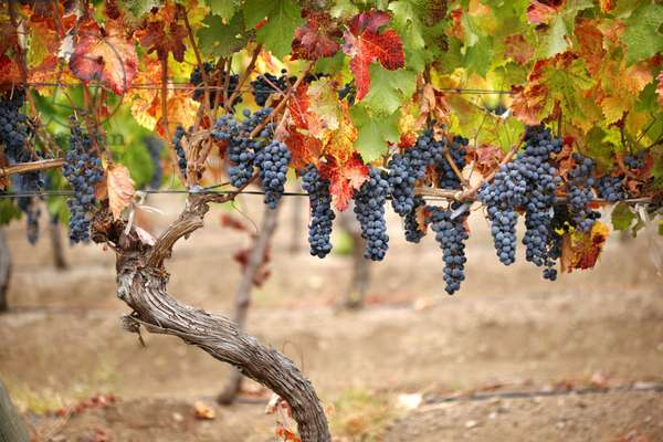 Red Grapes on Vines, Chile (photo)