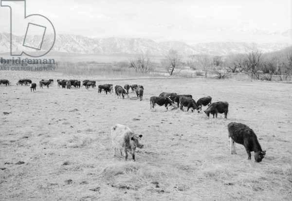 Cattle in South Farm, Manzanar, California, 1943 (photo)