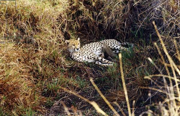 Cheetah with Cubs, South Africa (photo)