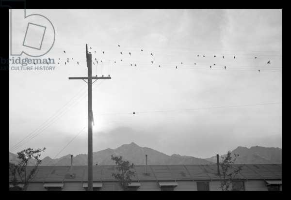 Birds on wire, Manzanar Relocation Center, California, 1943 (photo)