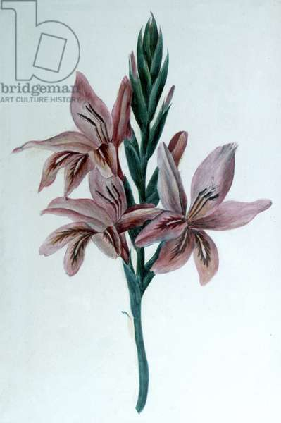 Gladiolus: Watercolour by George Sand (1804-1876) pseudonym of Amandine Aurora Lucie Dupin, Baronne Dudevant. French novelist.