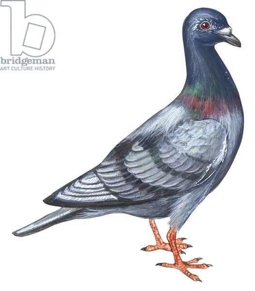 Pigeon biset - Common pigeon (Columba livia) ©Encyclopaedia Britannica/UIG/Leemage