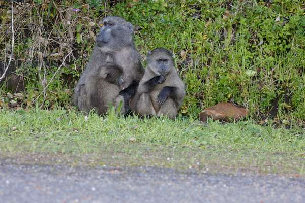 Chacma Baboons at Cape Point (photo)