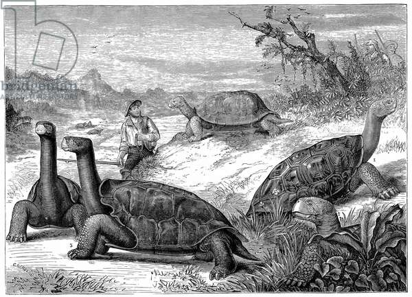 Giant Land Tortoises of the Galapagos Islands. Charles Darwin's study of the fauna of the Islands contributed to his theory of evolution. Wood engraving published 1884.
