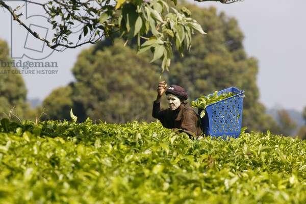 Tea Pickers, Magwa Tea Plantation (photo)