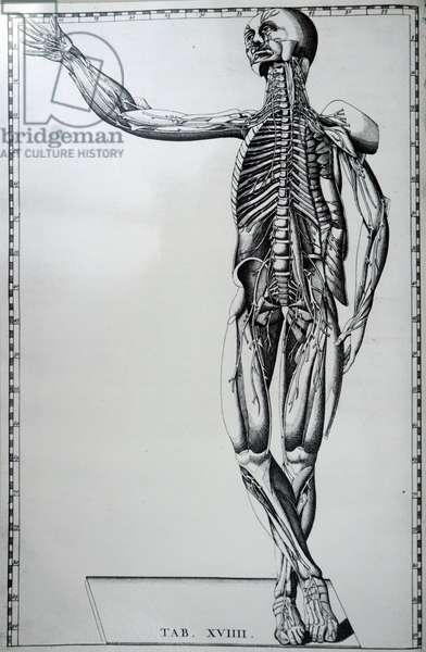 A human skeleton and nervous system.