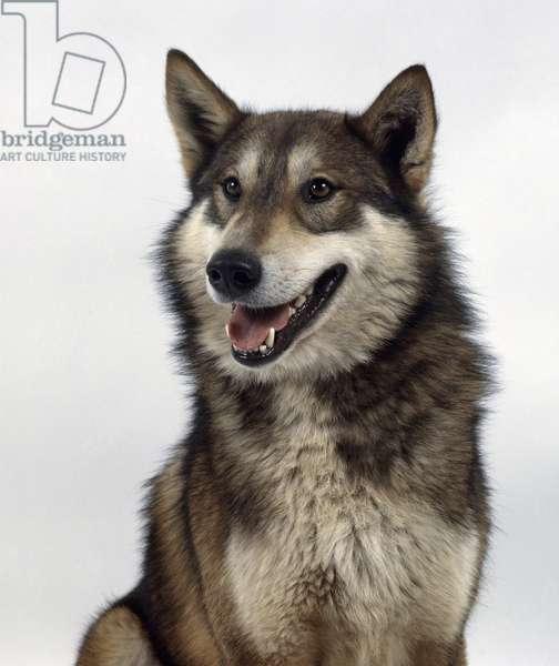 Laika dog, front view ©Dorling Kindersley/UIG/Leemage
