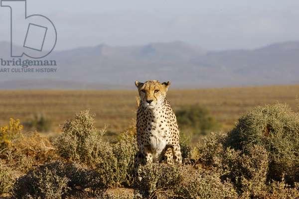 Cheetah (photo)