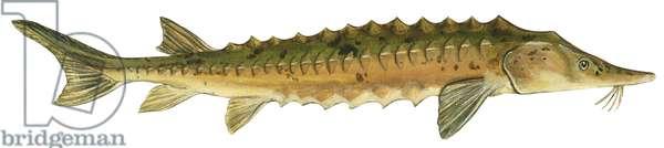 Esturgeon jaune - Lake sturgeon (Acipenser fulvescens) ©Encyclopaedia Britannica/UIG/Leemage