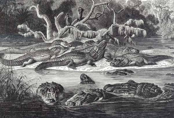 Engraving depicting black caiman of tropical South America, 19th century