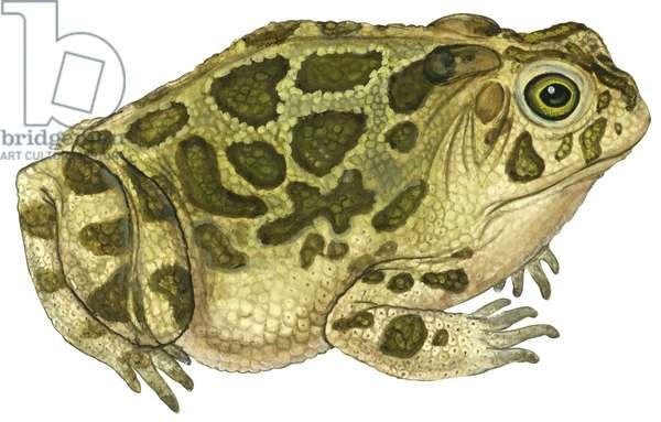 Crapaud des steppes - Great Plains toad (Anaxyrus cognatus) ©Encyclopaedia Britannica/UIG/Leemage