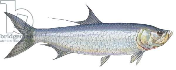 Tarpon de l'Atlantique - Atlantic tarpon (Megalops atlantica) ©Encyclopaedia Britannica/UIG/Leemage