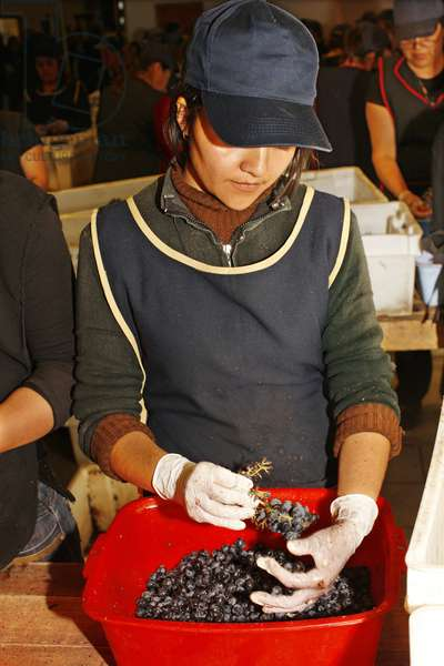 Worker sorting Grapes, Chile (photo)