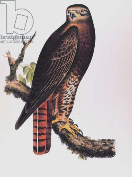 Red-Tailed Black Hawk (Buteo Calurus, Cassin)