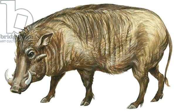 Phacochere d'Ethiopie - Desert warthog (Phacochoerus aethiopicus) ©Encyclopaedia Britannica/UIG/Leemage