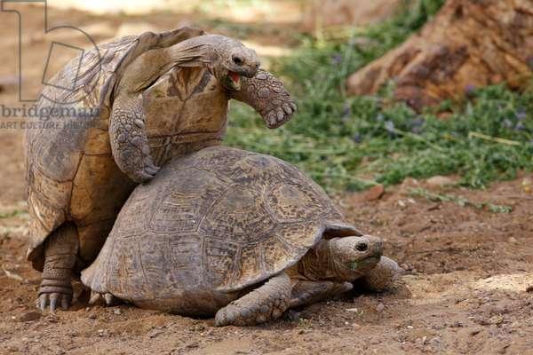 Mountain Tortoise mating (photo)