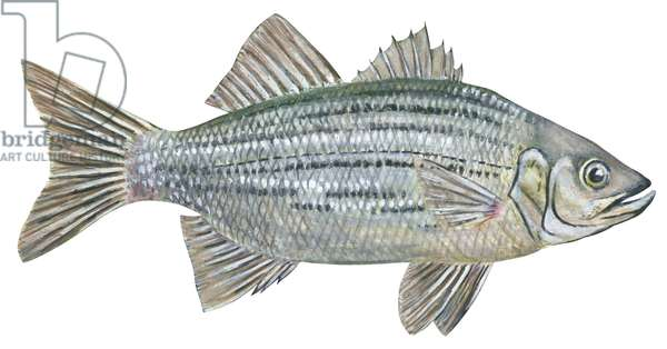 Bar blanc - White bass (Morone chrysops) ©Encyclopaedia Britannica/UIG/Leemage