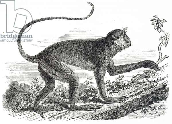 Engraving depicting a Colobus Monkey, 19th century