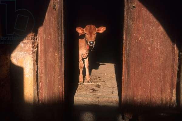 India. Calf at Rock Fort Temple, Tiruchirapalli.  (photo)