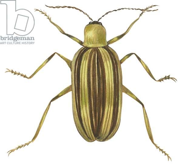 Chrysomele rayee du concombre - Striped cucumber beetle (Acalymma vittatum) ©Encyclopaedia Britannica/UIG/Leemage