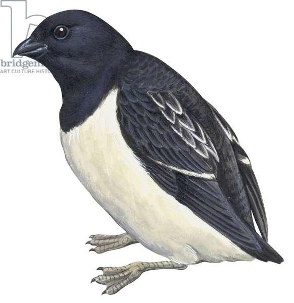 Mergule nain - Dovekie (Alle alle) ©Encyclopaedia Britannica/UIG/Leemage
