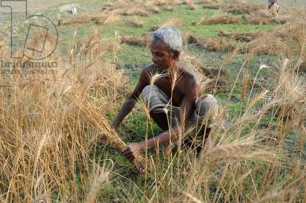 An elderly man reaps wheat (photo)