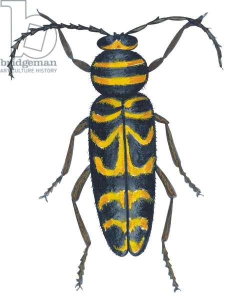Cyllene du robinier - Long-horned beetle (Megacyllene robiniae) ©Encyclopaedia Britannica/UIG/Leemage