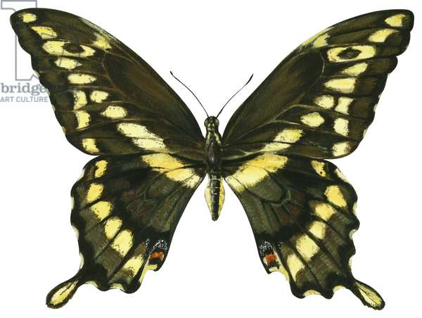 Grand porte queue - Giant swallowtail butterfly (Papilio cresphontes) ©Encyclopaedia Britannica/UIG/Leemage
