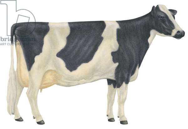 Vache Holstein - Holstein-Friesian cow, the most populous dairy breed in the United States ©Encyclopaedia Britannica/UIG/Leemage