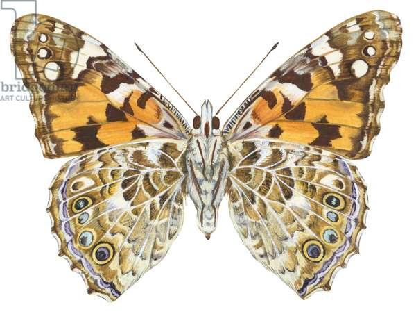Belle americaine ou Vanesse des perlieres - Painted lady butterfly (Vanessa virginiensis) ©Encyclopaedia Britannica/UIG/Leemage