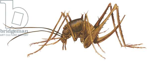 Gryllacrides, Sauterelles cavernicoles - Cave cricket (Ceuthophilus uhleri) ©Encyclopaedia Britannica/UIG/Leemage