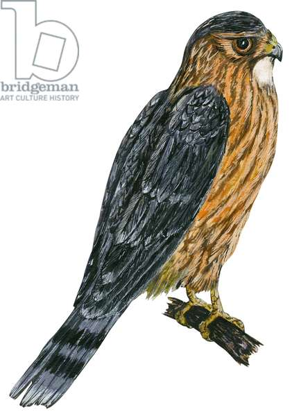 Faucon emerillon, Faucon Merlin - Merlin (Falco columbarius) ©Encyclopaedia Britannica/UIG/Leemage