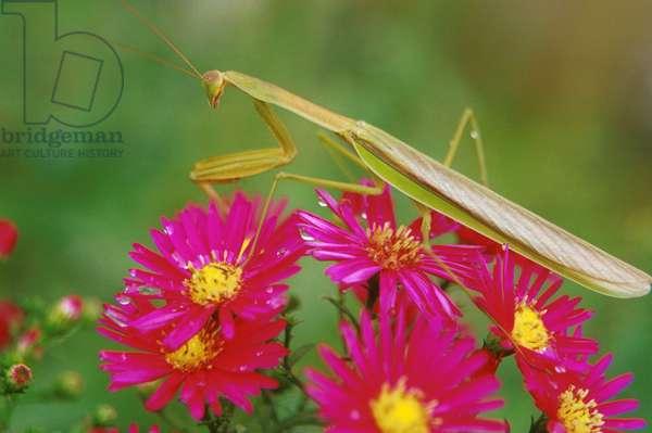 Praying Mantis.  Aster Flowers.