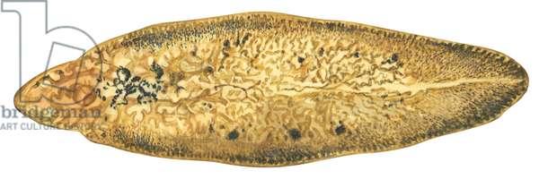 La grande douve du foie (ver) - Liver fluke (Fasciola hepatica) ©Encyclopaedia Britannica/UIG/Leemage