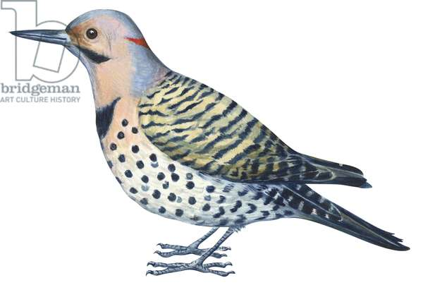 Pic flamboyant - Yellow-shafted flicker (Colaptes auratus) ©Encyclopaedia Britannica/UIG/Leemage