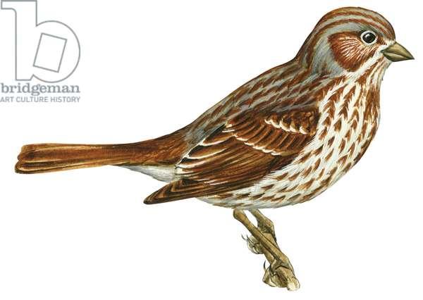 Bruant fauve - Fox sparrow (Passerella iliaca) ©Encyclopaedia Britannica/UIG/Leemage