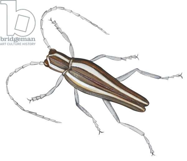 Saperde du pommier - Roundheaded appletree borer (Saperda candida) ©Encyclopaedia Britannica/UIG/Leemage