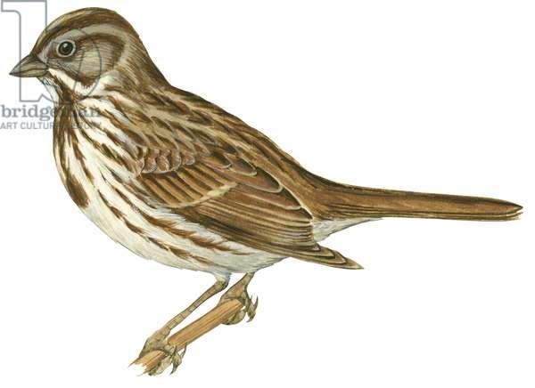 Bruant chanteur - Song sparrow (Melospiza melodia) ©Encyclopaedia Britannica/UIG/Leemage
