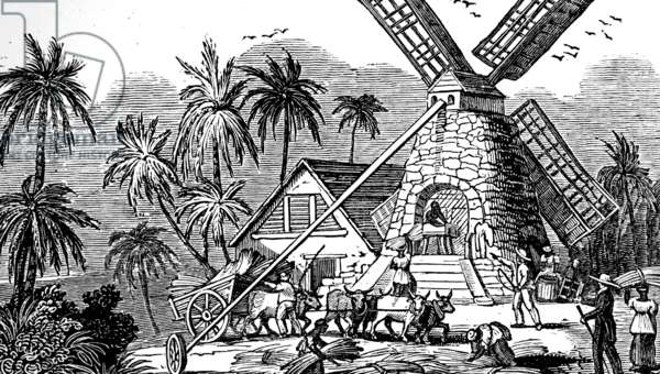 Slave labour carting sugar cane to mill where it was crushed and then juice expressed, 1833