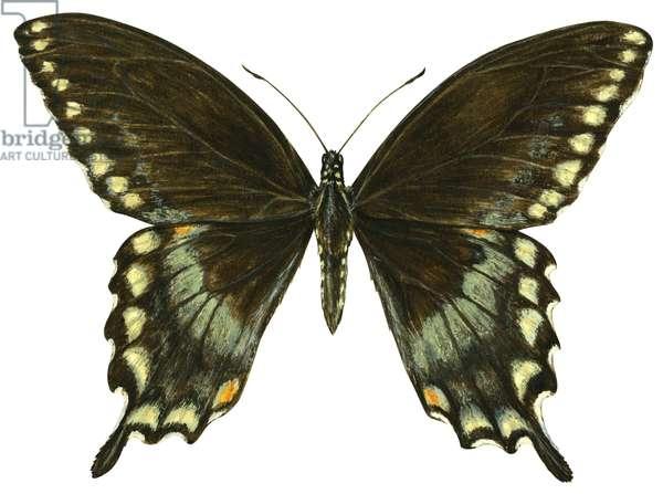 Spicebush swallowtail (Papilio troilus) ©Encyclopaedia Britannica/UIG/Leemage