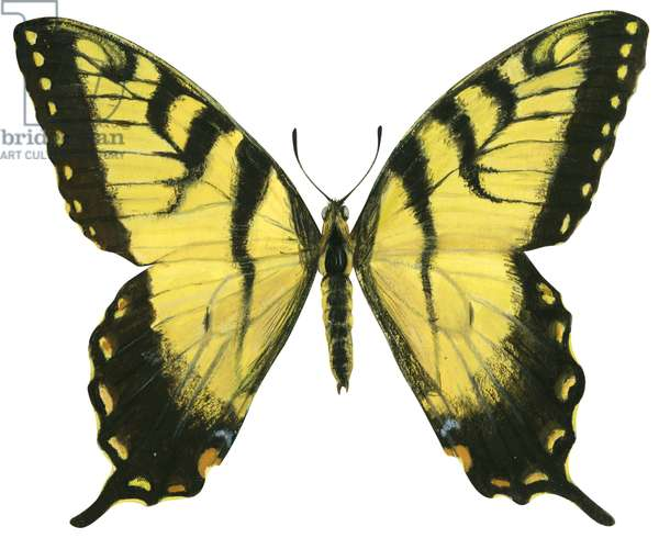 Papillon glauque - Tiger swallowtail (Papilio glaucus) ©Encyclopaedia Britannica/UIG/Leemage