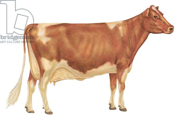 Vache Guernesey - Guernsey cow, a breed of dairy cattle originating on Guernsey, one of the Channel Islands ©Encyclopaedia Britannica/UIG/Leemage