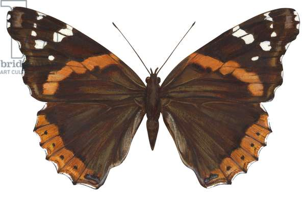 Vulcain - Red admiral butterfly : Red admiral butterfly (Vanessa atalanta) ©Encyclopaedia Britannica/UIG/Leemage