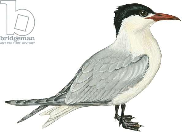Sterne caspienne - Caspian tern (Sterna caspia) ©Encyclopaedia Britannica/UIG/Leemage