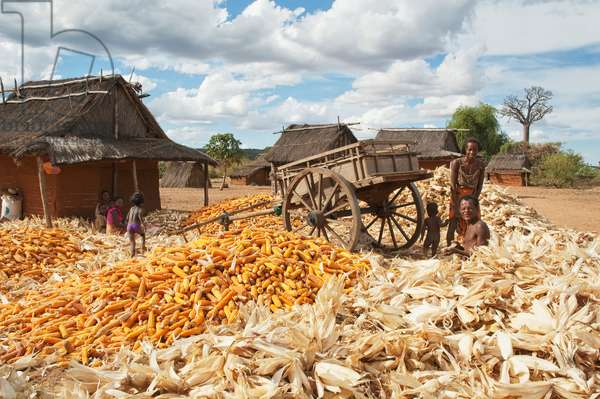 Family Separating Husks From Corn (photo)