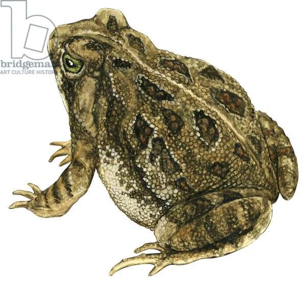 Fowler's toad (Anaxyrus fowleri) ©Encyclopaedia Britannica/UIG/Leemage