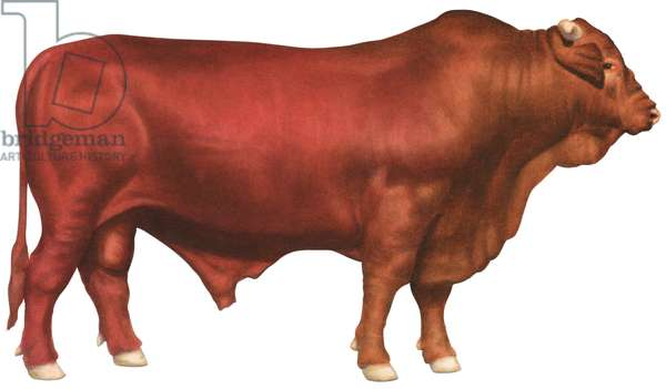 Taureau Santa Gertrudis - Santa Gertrudis bull (Beef cattle breed) ©Encyclopaedia Britannica/UIG/Leemage
